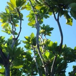 Puka Tree