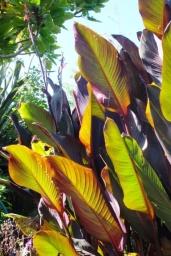 Red banana leaf (?)