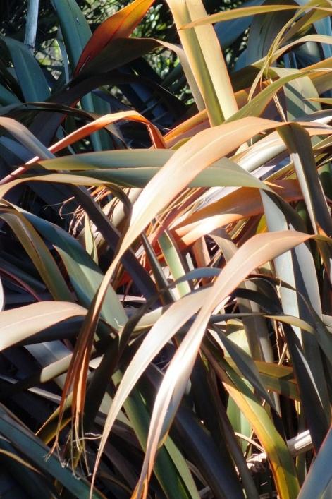 Common flax (Phormium tenax)