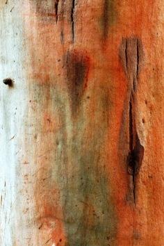 Eucalyptus saligna - Sydney Blue Gum