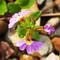 fairy fan flower (Scaveola)