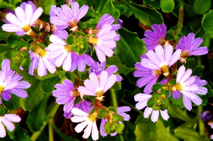 fairy fan flower