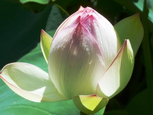 Lotus nelumbo nucifera earth laughs in flowers p1180295 mightylinksfo