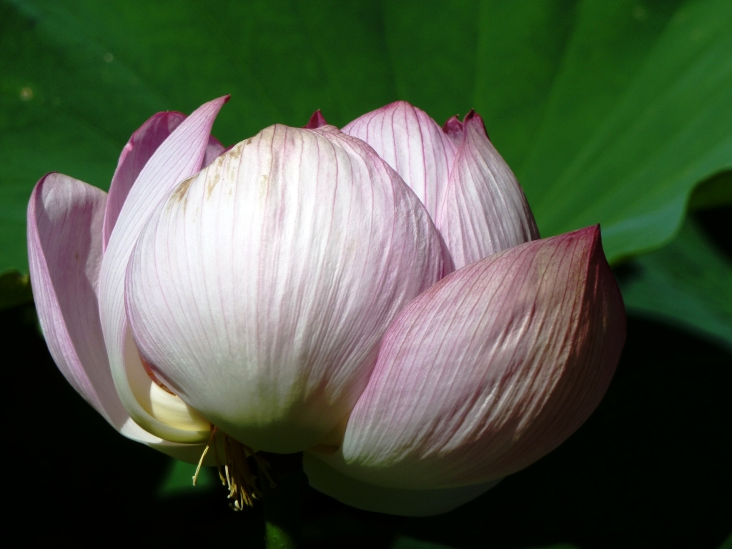 Lotus nelumbo nucifera earth laughs in flowers tibet and india and the lotus flower is symbolic in hindu and buddhist religions as lotus displays all the different stages of growth simultaneously mightylinksfo