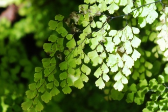 True maidenhair