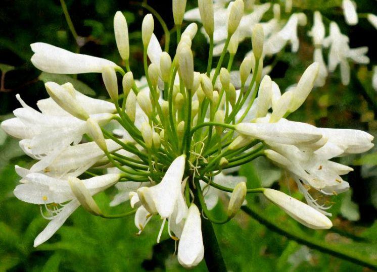 White Garden (Agapanthus)