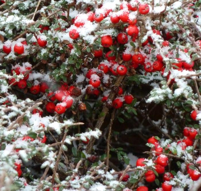 berries (4)