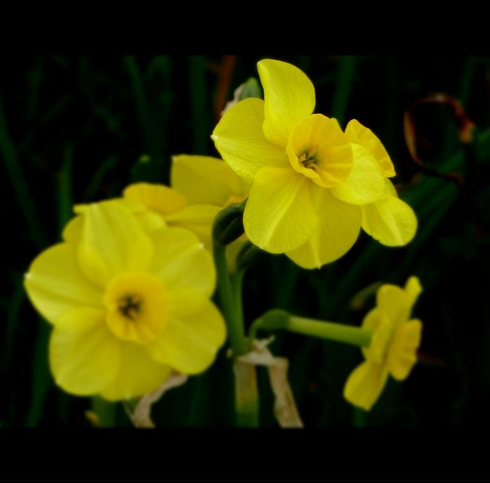 narcissus yellow