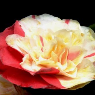 camellia (1)