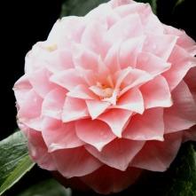 camellia (2)