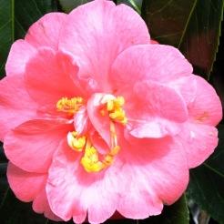 camellia (4)