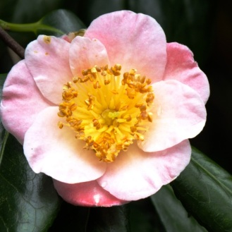 camellia (6)