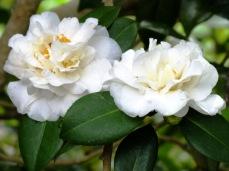 camellia (7)