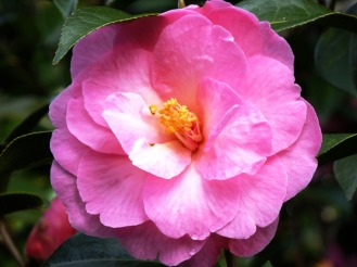 camellia (9)