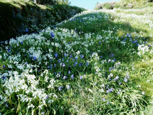 Bluebells and wild onion