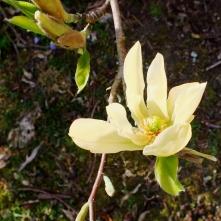 A Yellow Magnolia