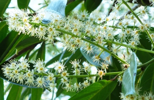 Cherry laurel in flower