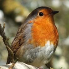 A very friendly robin