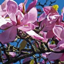 Magnolia sprengeri 'Burncoose Purple'