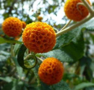 Buddleja globosa - orange ball tree