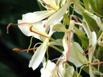Hedychium flavescens - Ginger Lily