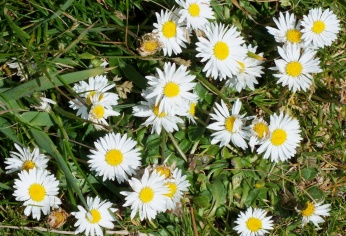Common daisies