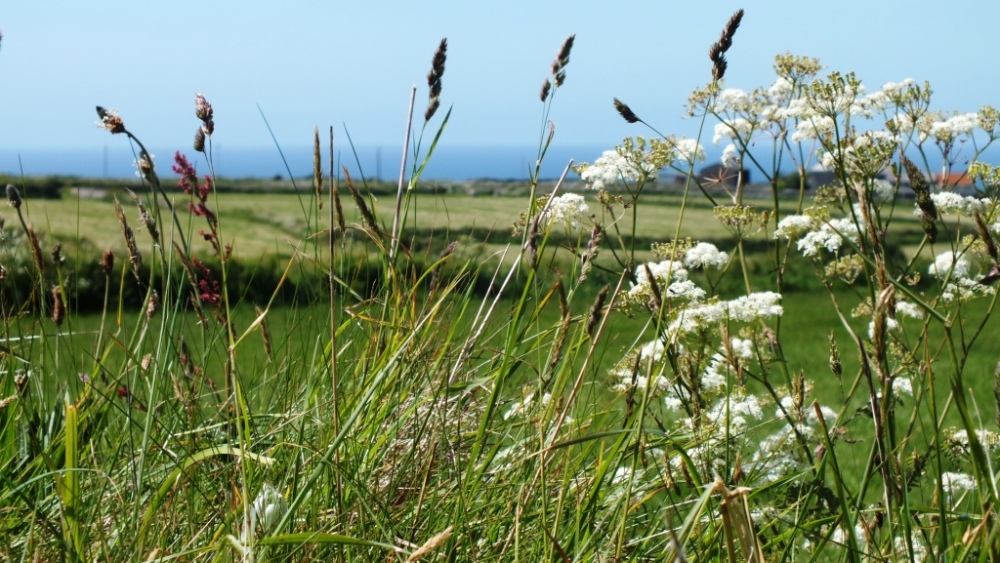 Cow Parsley and grasses