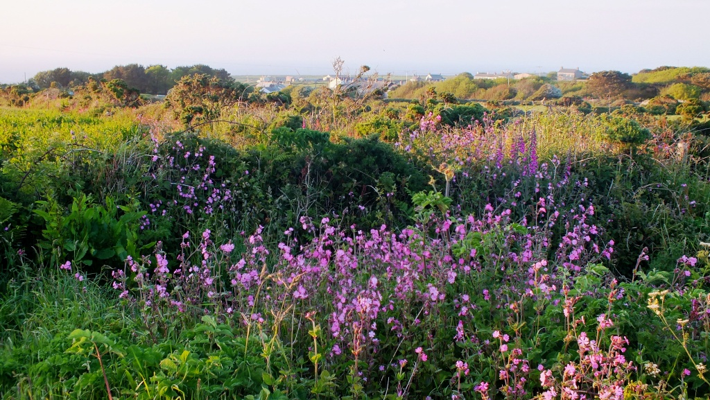 Cornish Wild Flowers in June – Earth laughs in flowers