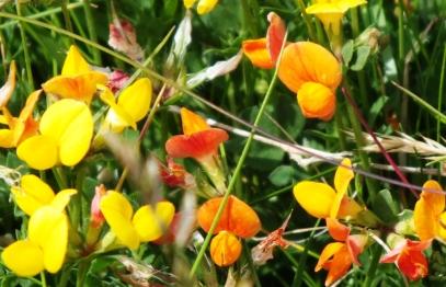 Lotus corniculatus - Birdsfoot trefoil