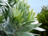 Silver leafed Leucadendron argenteum