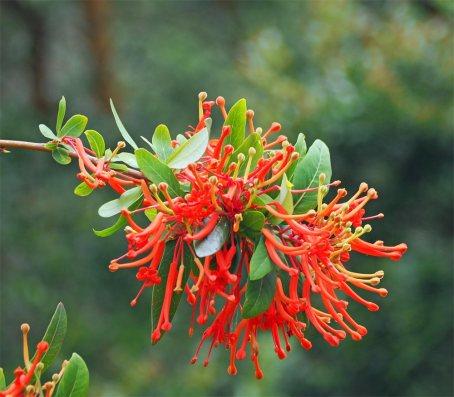 Chilean-Fire-tree