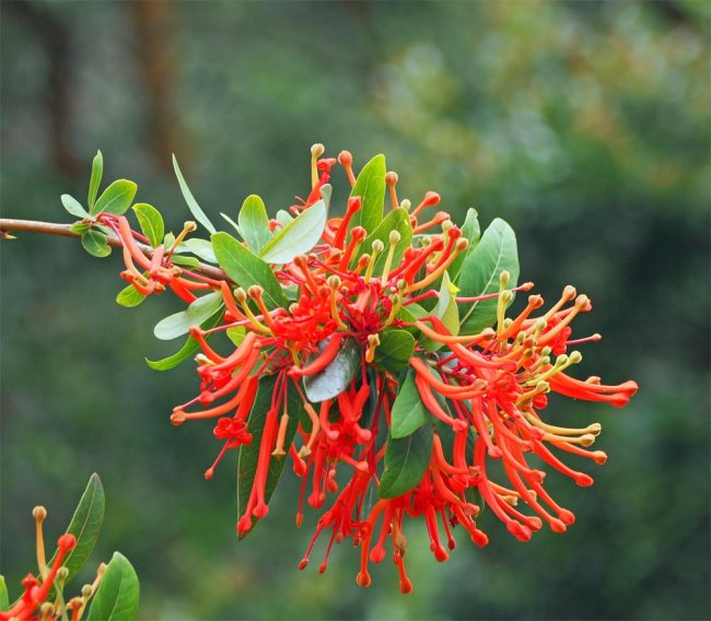 Chilean-Fire-tree