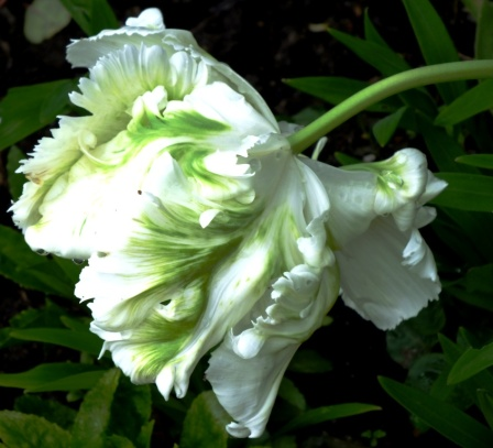 Green and white tulip
