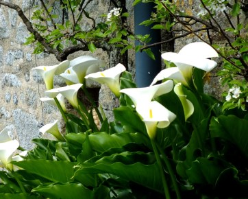 Arum Lily