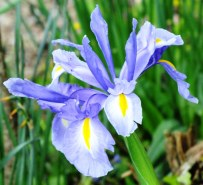 Powder-blue Irises