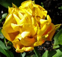 Double yellow tulip