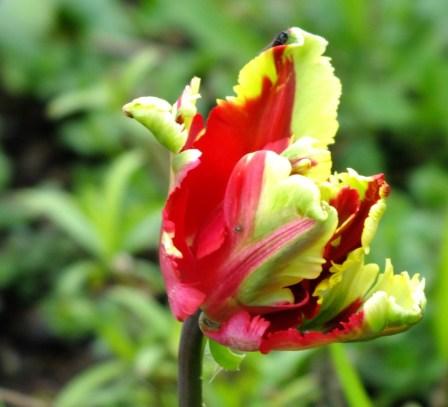 Pretty parrot tulip