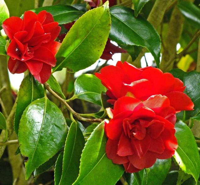 Red Camellia
