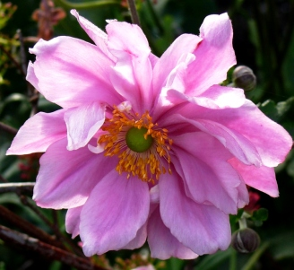 Double Japanese anemone