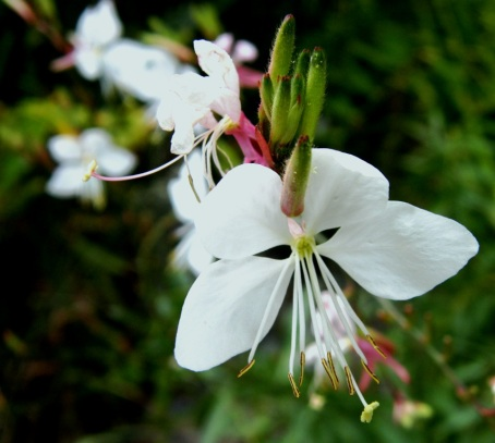Oenothera lindheimeri, formerly Gaura lindheimeri