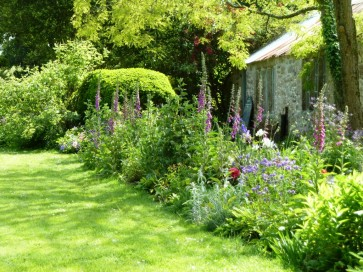 The potting shed border full of towering foxgloves