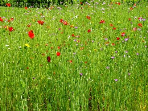 A wild flower meadow plot