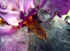 Very dark purple bearded iris