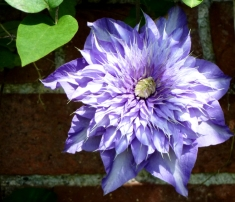 A double clematis