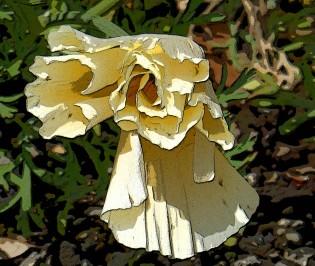 Cream Californian Poppy