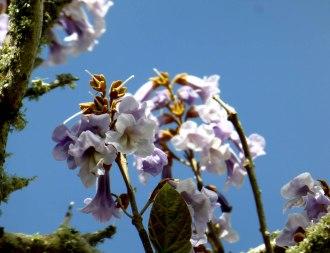 Paulownia tomentosa (foxglove tree)
