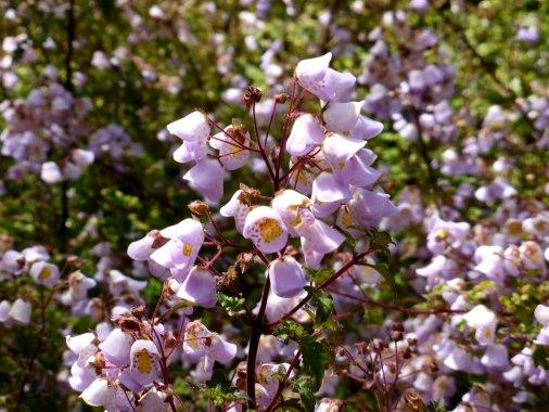 Jovellana Violacea / Violet teacup flower
