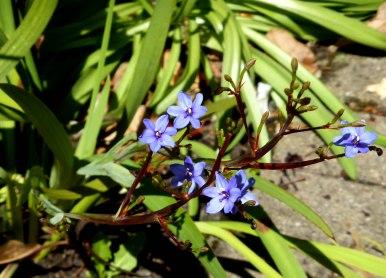 Nodding Blue Lily/ Stypandra glauca