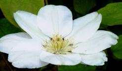 white clematis