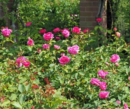 England's Rose